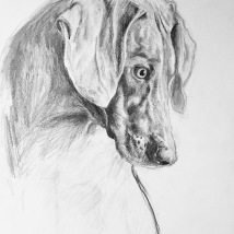 Weimaraner, charcoal and graphite